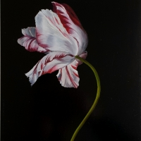 Red and white tulip 1, oil paint on board, 20 x 30 cm