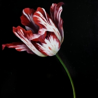 Red and white tulip, oil paint on board, 20 x 30 cm