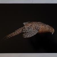 Pheasant, oil paint on board, 40 x 50 cm, 2020